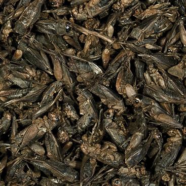 Tropical Crickets 100 ml suszone świerszcze